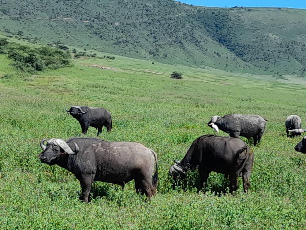 Buffalo in ngorongoro crater